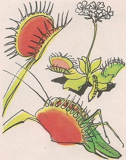 Венера мухоловка