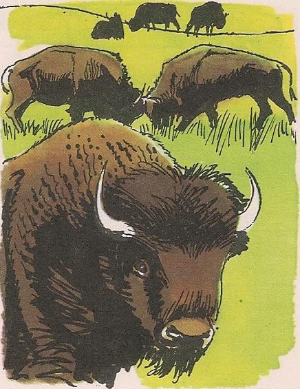 Дивљи бизон