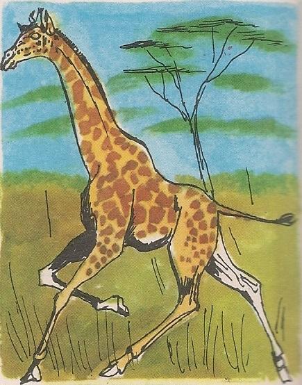 Дуговрата жирафа