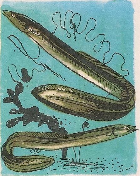 Змијаста јегуља