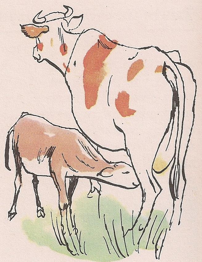 крава има млека само кад се отели